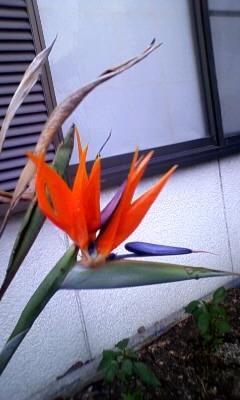 極楽鳥花.JPG